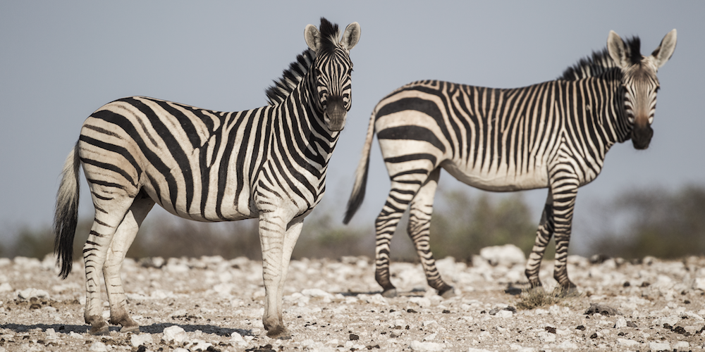 Plains and mountain zebra, Etosha National Park