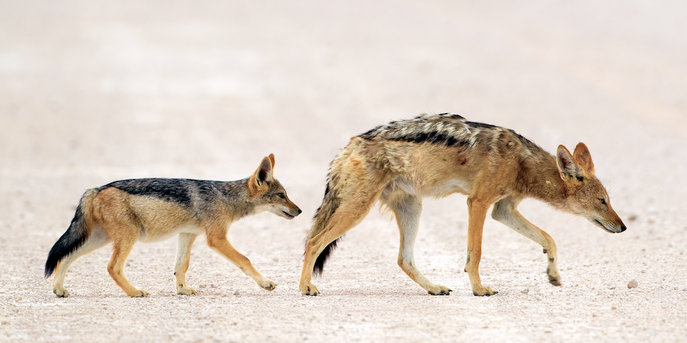 Black-backed jackals, Etosha National Park
