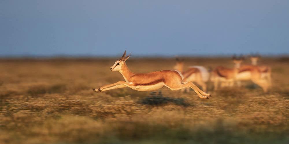 Sprinbok, Etosha National Park