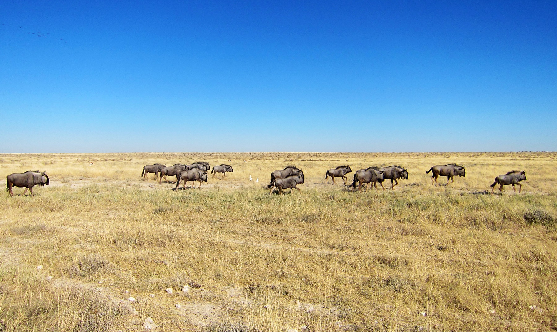 Wildebeests on a flat plain in Etosha National Park
