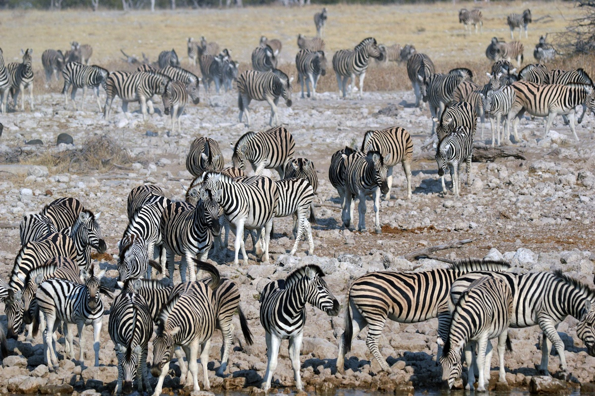Hundreds of zebras heading to the Okaukuejo camp waterhole