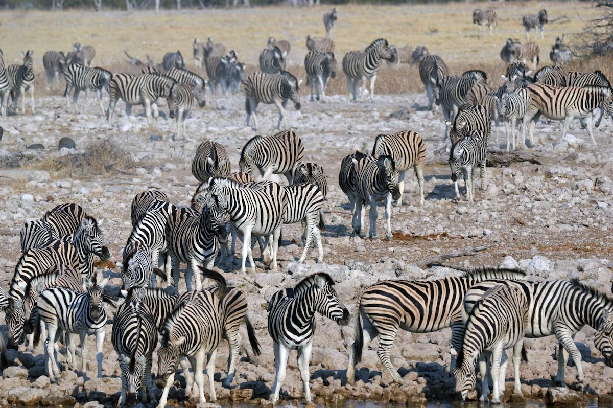Hundreds of zebras heading to the Okaukuejo camp waterhole